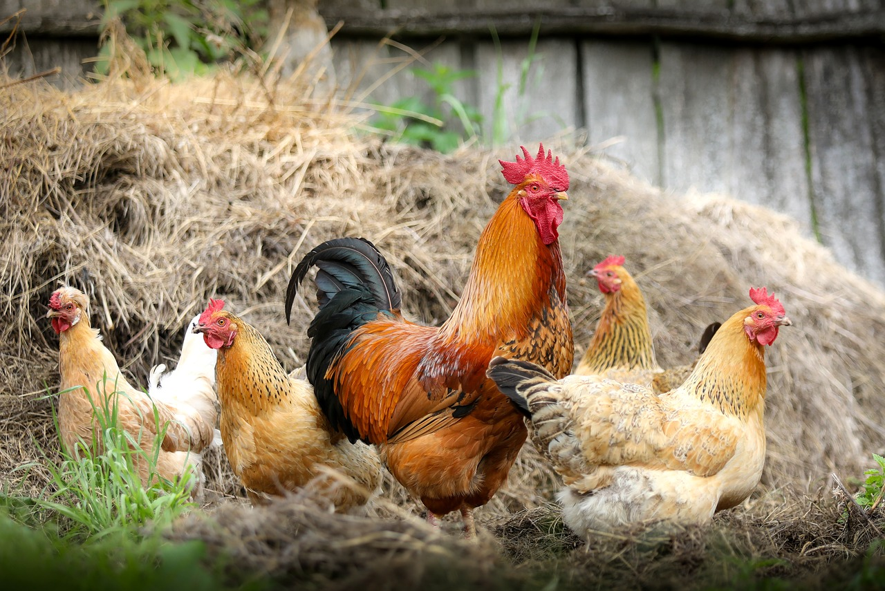 chickens protected with farm insurance